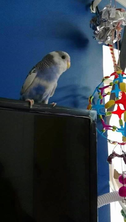BIRD MISSING!!   6 months old Australian Budgie bird is missing from Oct 12.   The bird is blue and white in color with black stripes on its head. It is hand trained and will sit on the hand easily upon approaching.   Last Location Seen: Blue was last seen flying towards GMDC ground from Vastrapur lake. Considering it's flying reach, the bird cannot fly more than a mile at a time.   Call +91-9825009735 to give any information you find out regarding  Blue.