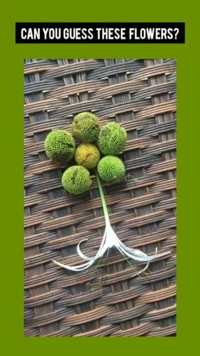 CONTEST :: Green ગૂગલી with Dhvanit :: Guess the flowers💐 and win* the supercool Tree Idiot Green 🌿 Gift Hamper! કમેન્ટ કરો.. #mirchi #treeidiot 🌳@farmseindia
